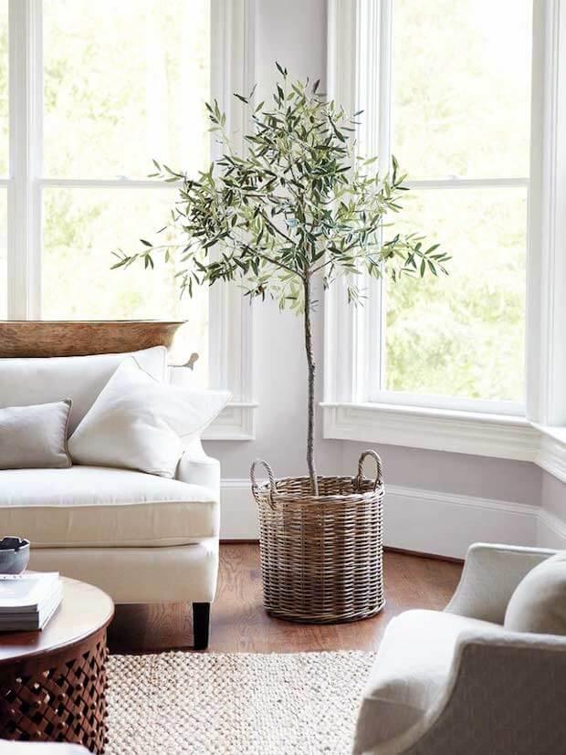 Plantas de interior olivo natural