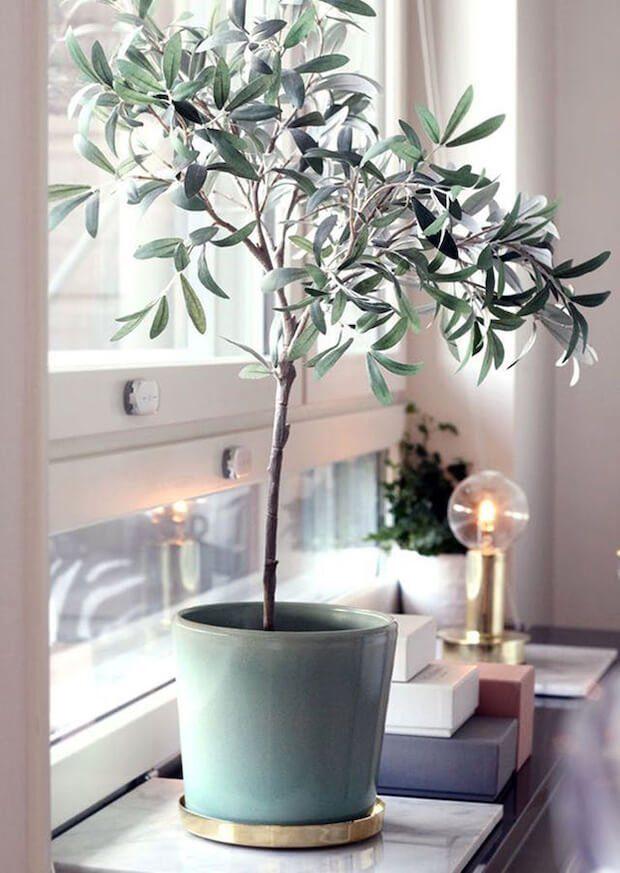 Plantas y decoración olivo de interior