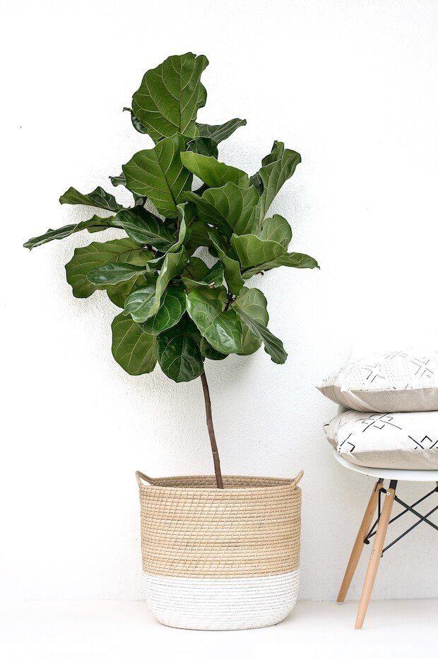 Plantas de interior Ficus lyrata