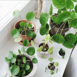 Plantas de interior: Pilea peperomioides o planta del dinero china
