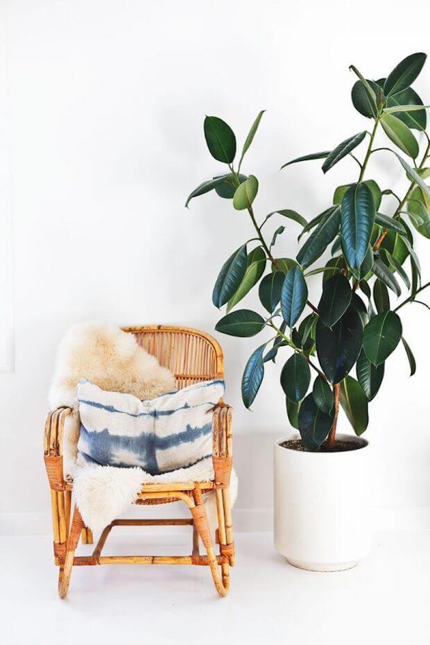 Plantas de interior 3 Cáctus Eurphorbia o árbol del caucho