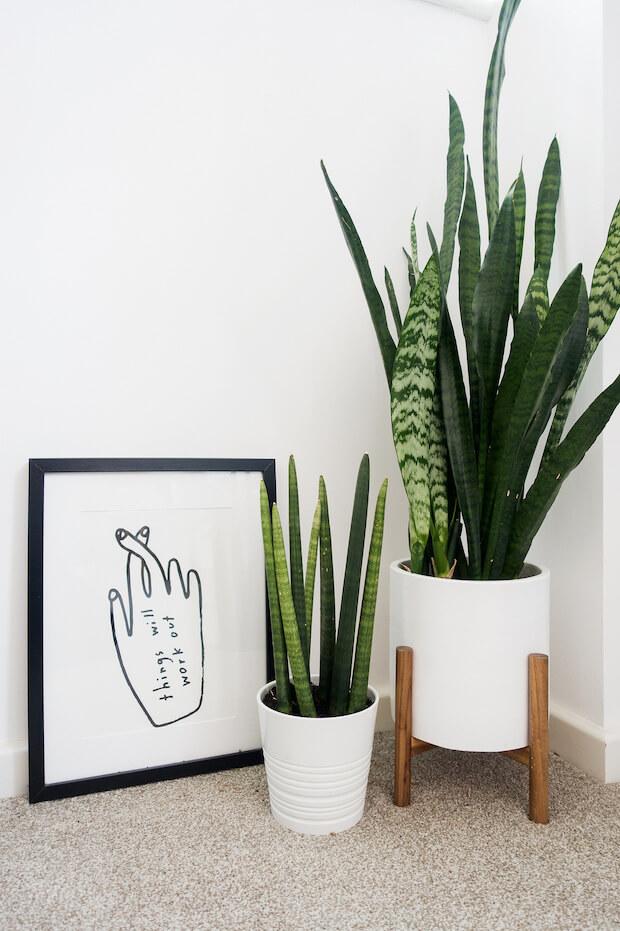 Plantas de interior Sansevieria
